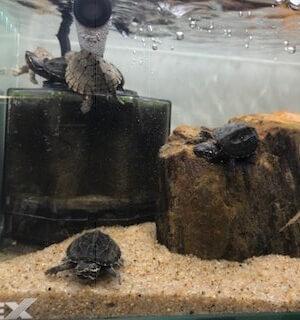 ミシシッピ ニオイガメ 飼育